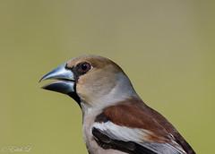 A bientôt (milvus09) Tags: grosbeccassenoyaux coccothraustescoccothraustes hawfinch passériformes fringillidés