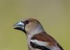 A bientôt... (milvus09) Tags: grosbeccassenoyaux coccothraustescoccothraustes hawfinch passériformes fringillidés