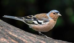 Chaffinch RSPB Silverdale F00179 D210bob  DSC_6122 (D210bob) Tags: chaffinch rspbsilverdale f00179 d210bob dsc6122 nikond7200 lancashire birdphotography birdphotos leightonmoss naturephotography naturephotos nikon nikon200500f56 rspb wildlifephotography