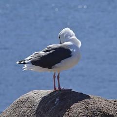 Seagull (MJ Harbey) Tags: bird rock sea ocean water seagull nikon d3300 nikond3300 pacificgrove usa california monterey loverspoint