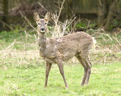 Roe Doe - Shedding her winter coat (glostopcat) Tags: roedoe roedeer deer doe animal mammal wildlife spring april glos