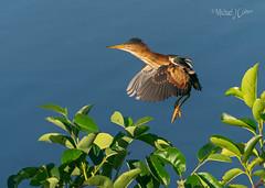 Least Bittern (MyKeyC) Tags: leastbittern bittern ixobrychusexilis flying flight wetlands water w it wa