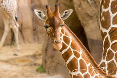 _MGL7921.jpg (shutterbugdancer) Tags: chimpanzee kamba gypsy tendaji lion lemur elephant adhama dallaszoo zoo animals boipelo hippos giraffe reticulatedgiraffe gorilla congo jenny
