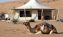 Lela the Camel in Oman (RJAB2012) Tags: arabianpeninsula camel dromedary sand desert oman 100v10f