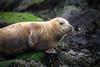 Grey Seal (Paul_Collins53) Tags: grey seal ravenscar beach wild animal nikon d850 whiskers rocks