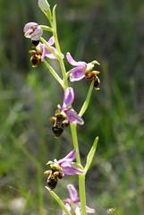 Orquideas silvestres (Mireia Cabrero) Tags: orquideas silvestres