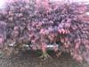 c2018 April 17, Japanese Maple Tree @ Bridge Street (King Kong 911) Tags: trees japanese water carrousel azalea roses pink white yellow