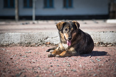 Dog, Chornobyl, Ukraine (KSAG Photography) Tags: dog pet animal chernobyl chornobyl ukraine europe disaster ghosttown town nikon april 2018 urban cute landscape history