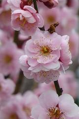 Prunus mume 'Nicholas' 3 (wundoroo) Tags: newyorkbotanicalgarden nybg newyork bronx spring april flowers ladiesborder pink