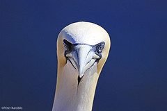 Helgoland / Heligoland - Basstölpel / gannets (peterkaroblis) Tags: helgoland heligoland basstölpel gannet insel island vogel bird nordsee northsea morusbassanus sulidae