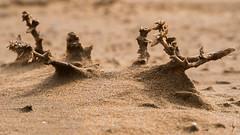 Salsola Kali (Vic Morrison) Tags: microcosmos macro detalle arena salsola kali cartagena calblanque playa a6300 sony