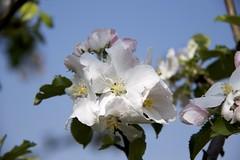 Bloesem (Blossom) (ToJoLa) Tags: canon canoneos60d 2018 lente voorjaar spring sun sky landscape wandeling ontrack noordbrabant natuur nature colors kleuren colours april