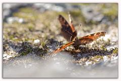 Papillons du printemps (pascal sabourin) Tags: france insecte techniquephoto lathussaintremy vienne papillon faunesauvage poitoucharentes macro