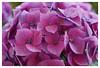 Hortensie in pink (h.ullrich) Tags: helios 442 258 natur pflanze blume grün macro detail nahaufnahme m42 bokeh