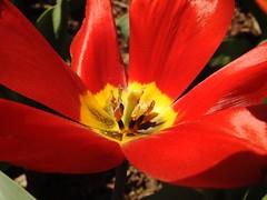 4018ex flamboyant (jjjj56cp) Tags: closeup details tulip red redtulip spring springflowers flowers blossoms blooms petals pollen center centered springgrove p900 jennypansing yellow green fullbloom