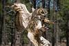Great Horned Owl (Jon David Nelson) Tags: greathornedowl bubovirginianus owls highdesert sagebrushsteppe sagebrushsea centraloregon conservation wildlife wildanimals education