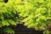 Green leaves (Teruhide Tomori) Tags: landscape forest tree green momiji maple kyoto japan japon chishakuintemple 智積院temple leaf spring 緑 新緑 モミジ 階段 東山 京都 日本 春 庭園