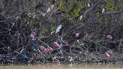 Roseate spoonbills and friends, Eco Pond, Everglades National Park, FL, USA (Pablo L Ruiz) Tags: evergladesnationalpark ecopond roseatespoonbill pink wetlands nikon sigma150600mm