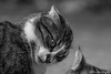 The madness in his eyes (Nicolas Rouffiac) Tags: chat chats cat cats felin félin animal animals animaux monochrome madness folie eyes eye yeux oeil regard look