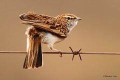 Melodious Lark (markus lilje) Tags: markuslilje bird birds birding southafrica lark melodiouslark mirafracheniana endemic fbwnewbird