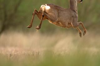 Wildlife Roe deer
