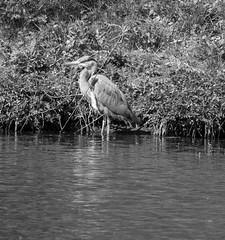 Wading Grey Heron monochrome (PDKImages) Tags: yorkshiresculpturepark birds wildlife bird heron nesting flight grey greyheron wings nature outside