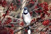 Blue Jay Surrounded by Maple Blossoms (Anne Ahearne) Tags: maple tree blossoms wild bird animal nature beautiful blue jay wildlife colorful