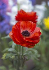 Nevena Uzurov - Spring colors (Nevena Uzurov) Tags: flowers spring april petals colorful garden ranunculusasiaticus ranunculus nevenauzurov serbia