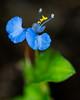 Dayflower (Commelina erecta) (Jose Matutina) Tags: blue bokeh california dayflower flower macro orangecounty sel90m28g sonya7rii spring