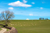 The Yorkshire Dots (TablinumCarlson) Tags: north yorkshire uk grosbritannien britannien britain great united kingdom england summicron leica m m240 york punkte schafe sheep wolke cloud himel sky wiese gras weide farm 90mm dot dots punkt leicam landscape landschafr vieh weg way tree baum