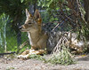 Akron Zoo 06-06-2014 - Coyote 10 (David441491) Tags: coyote canine akronzoo