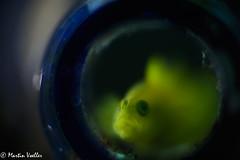 Japan_IzuPeninsula_Osezaki-20180504-0189 (poseidonphotos) Tags: diving izu japan osezaki anemone anemonefish beautiful beautifulcreature blueocean closeup clownfish colorful conservation corareef coral diver eel fish fishface frog frogfish macro macrophotography marineconservation marinelife moray morayeel nature nemo nudibranch ocean reef scuba scubadiving sea sealife seaslug smallcreature underwater underwaterphotography wildlife