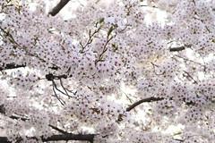 Sakura,Ichiyo-in,Kyoto (yopparainokobito) Tags: sakura cherryblossom さくら 桜 ichiyoin ichyoin 一様院 kyoto 京都 canon eos m3 eosm3