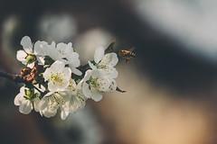 Dinner (Inka56) Tags: 7dwf fauna bee blossoms sweetcherryblossoms throughherlens