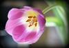 Glowing Tulip (Through Serena's Lens) Tags: lifeisarainbow tulip macro 7dwf glowing spring dof pink colorful bokeh