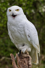 Snowy Owl (MV Photography (750,000 + Views)) Tags: canon 7d nature wildlife snowy owl bird birdofprey