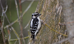 Female Downy Woodpecker (Chad Horwedel) Tags: femaledownywoodpecker female downywoodpecker bird tree dupagerivergreenway bolingbrook illinois