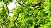 P2040094 écureuil 04 (arbre) -Corra (jeanchristophelenglet) Tags: saintgermainenlayefranceétangducorraforêtdesaintgermainenlaye écureuil squirrel esquilo arbre tree arvore