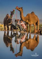 take 5 too (Albert Photo) Tags: camelfair rajasthan india asia nomadic sky animal water reflection people rest drinking boy herdsman camel shepherd pastor pastoral