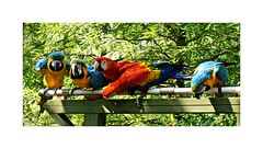 Tropical Birds (BlueisCoool) Tags: flickr foto photo image capture picture photography nikon coolpix l330 color colorful bright vivid cute pretty beautiful bird parrots animal outdoor outdoors nature zoo florida lowryparkzoo tampaflorida