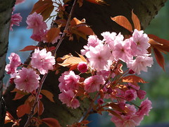 "WONDERFUL SPRING 🌸🌼🌸🌼🌸 (swetlanahasenjäger) Tags: frühling grünebäume blühendekirschen kastanienblätter blühendekirschbäume sakura blauhimmel blauerhimmel sonnenschein spring may allgreenandblue bluesky sunshine wonderofnature alittlebeauty coth5 contactgroups ""doublefantasy"""