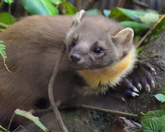 Pine Marten (Terry Angus) Tags: pinemarten