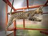 TyrJump (AdrianMaricic) Tags: cat pussy jump pussycat savannah pedigree f7 kitten sixmonths catio enclosure ramp step spot spots leopard serval f6 aalspotz