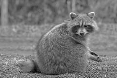 Ménage du printemps (passion photos animalières) Tags: ratonlaveur raccoon noirblanc passionphotosanimalières