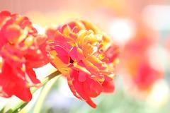 SOOC surprise (Kerri Lee Smith) Tags: sooc tulip spring flowers bulbs bokeh depthoffield dof sunlight explore