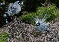 Nest Squabble (greg obierek) Tags: nj newjersey spring nesting bird wadingbird avian