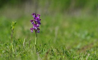 Neon coloured Green Winged Orchid - Anacamptis morio