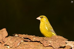 Verdilhao, European Greenfinch (Carduelis chloris) (Nuno Xavier Moreira) Tags: verdilhao europeangreenfinchcarduelischlorisemliberdadewildlifenunoxavierlopesmoreirangc animals animais aves de portugal observação nature natureza selvagem pics wildlife wildnature wild photographer birds birding birdwatching em bird ao ar livre ornitologia ngc nuno xavier moreira nunoxaviermoreira liberdade national geographic all xpress us carduelischloris chlorischloris europeangreenfinch