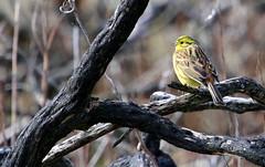 Yellowhammer (PeskyMesky) Tags: yellowhammer bird birdwatching nature newburgh aberdeenshire scotland springwatch 2018 canon canon6d