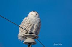 Snowy Owl (Jamie Lenh Photography) Tags: nature wildlife owls snowyowl nikond7100 tamron150600